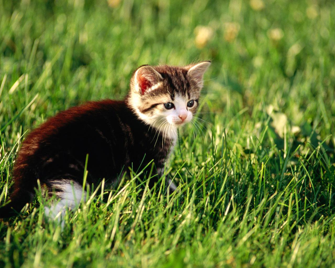 котенок, кот, трава, Cat, киса, киска, котэ, кошка