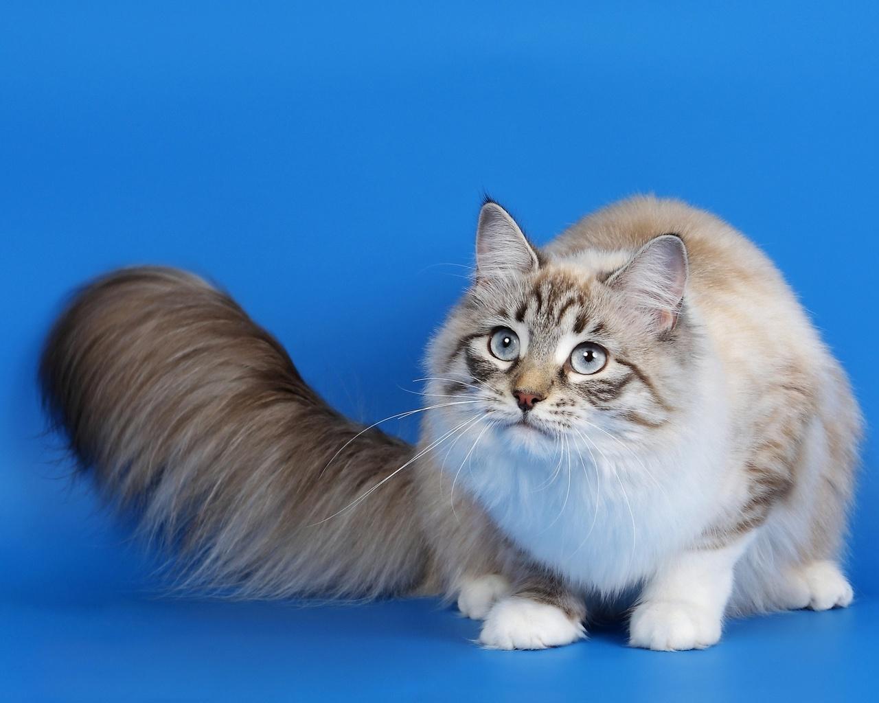 кот, пушистый, хвост, глаза, серые .