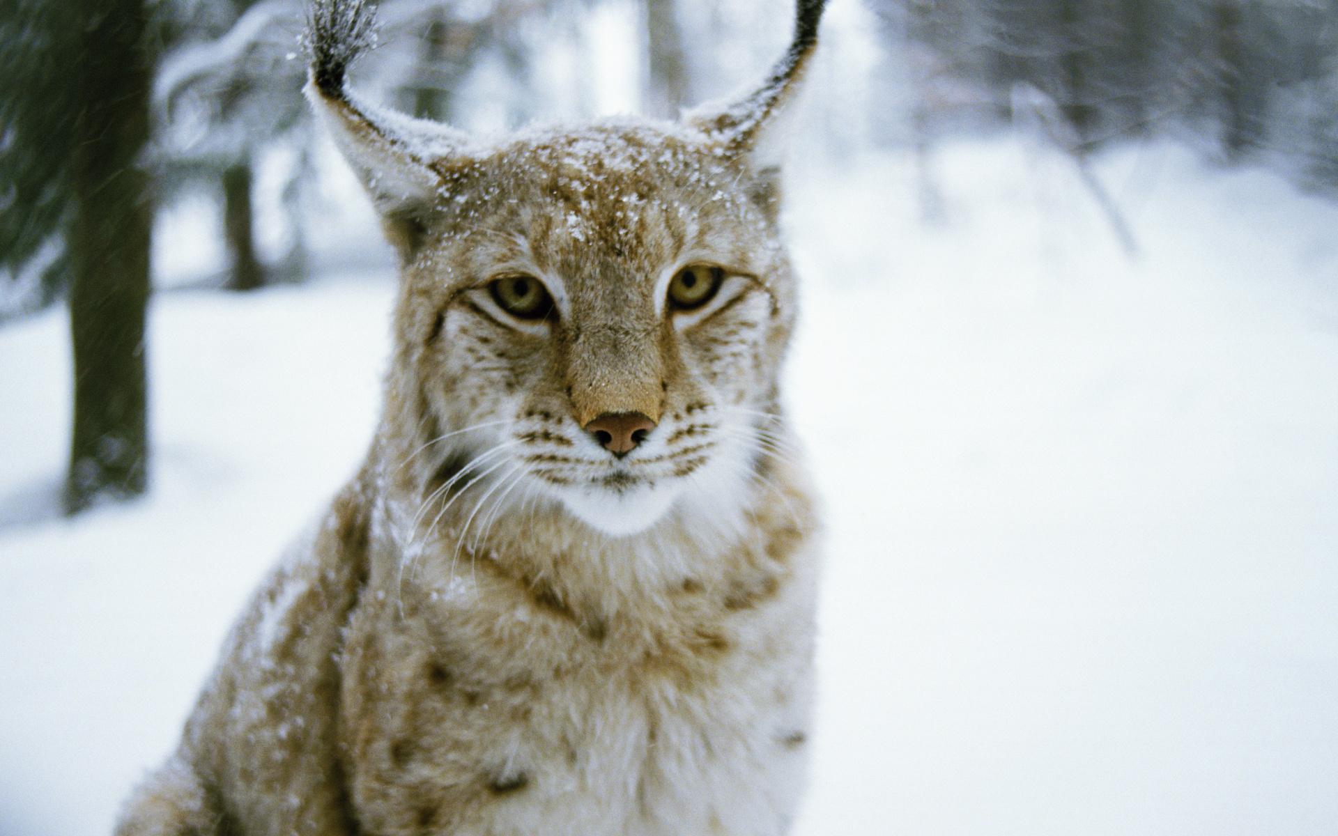 хищник, зима, wood, Рысь, lynx, кошка, winter, cat, predator, лес