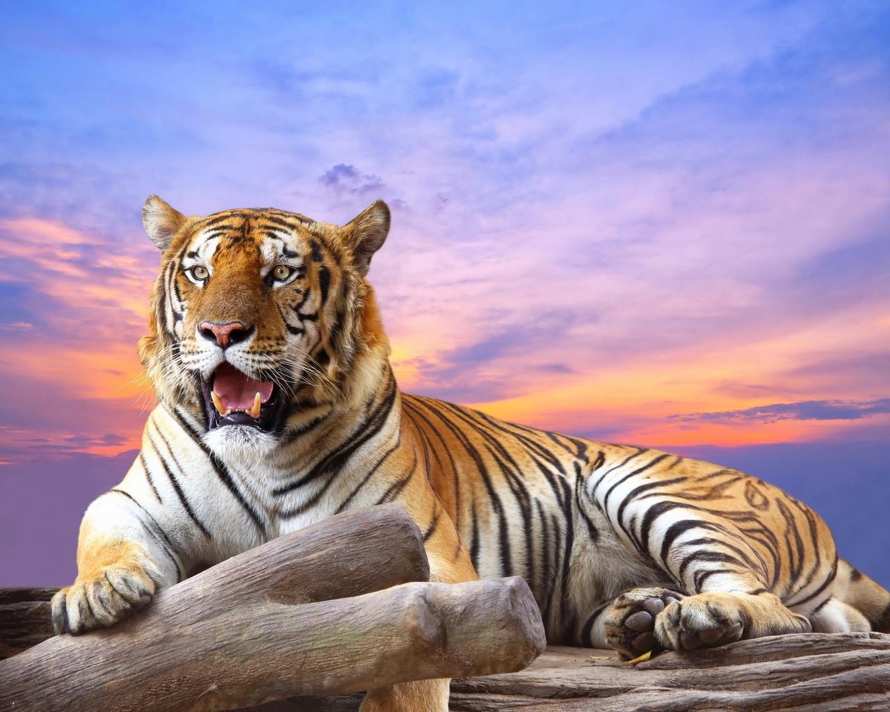 Днем, картинка с тиграми