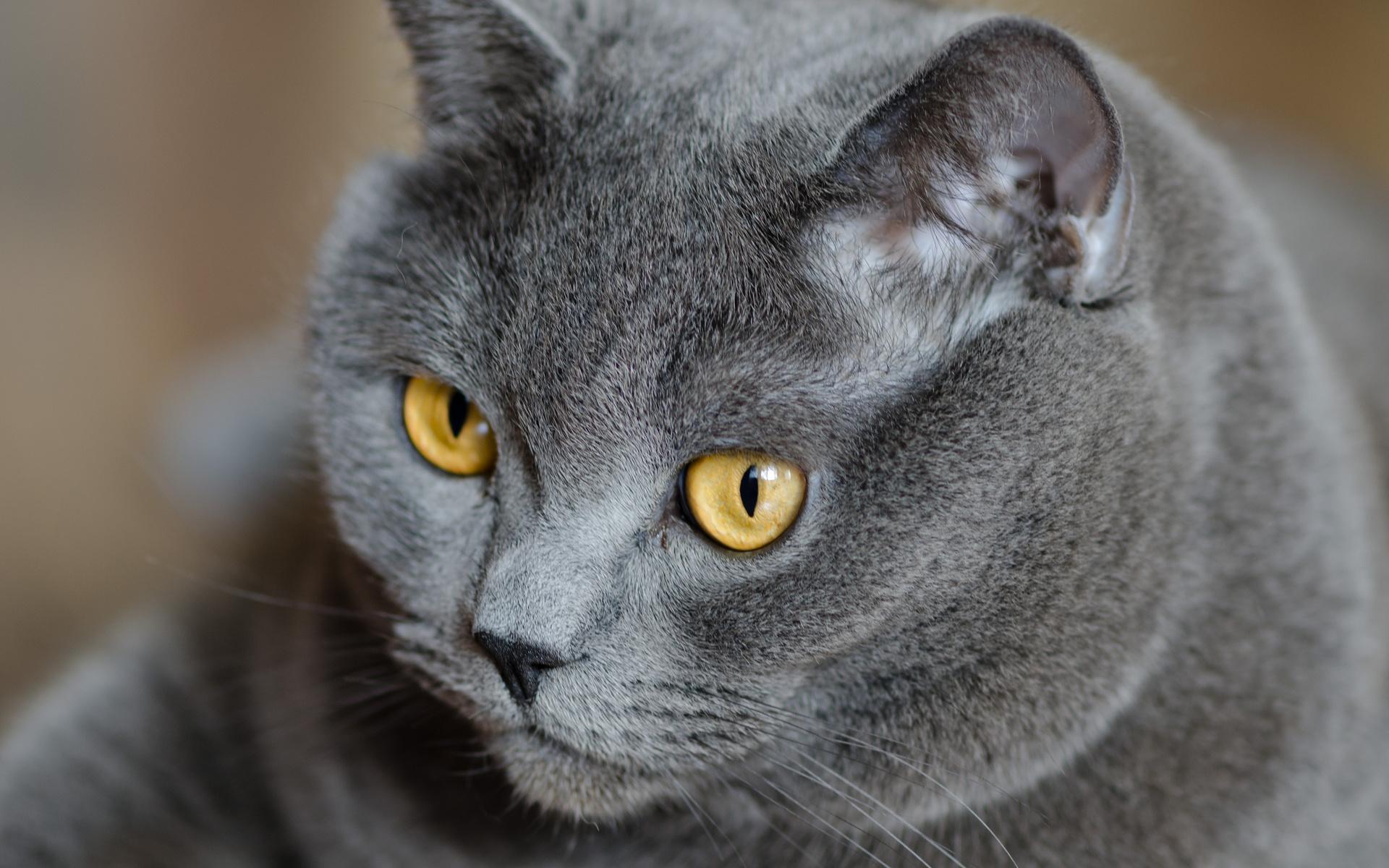 Картинки британских кошек и котов, смешные картинки открытка