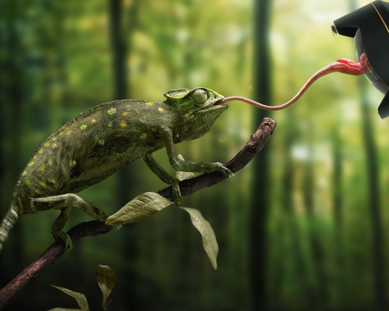 животные, рептилии, хамелеон, фотограф, Язык