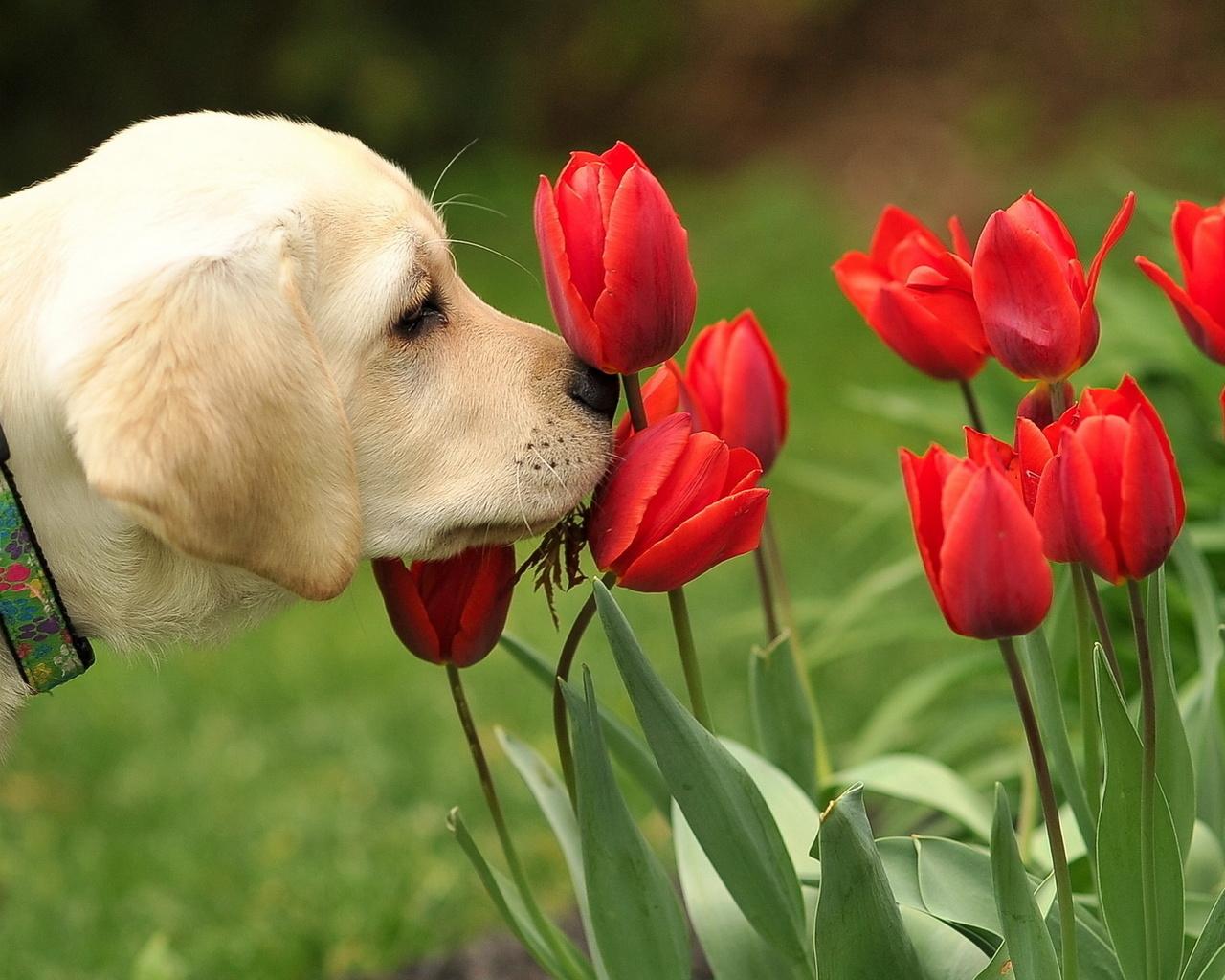 собака, тюльпаны, позитив,настроение