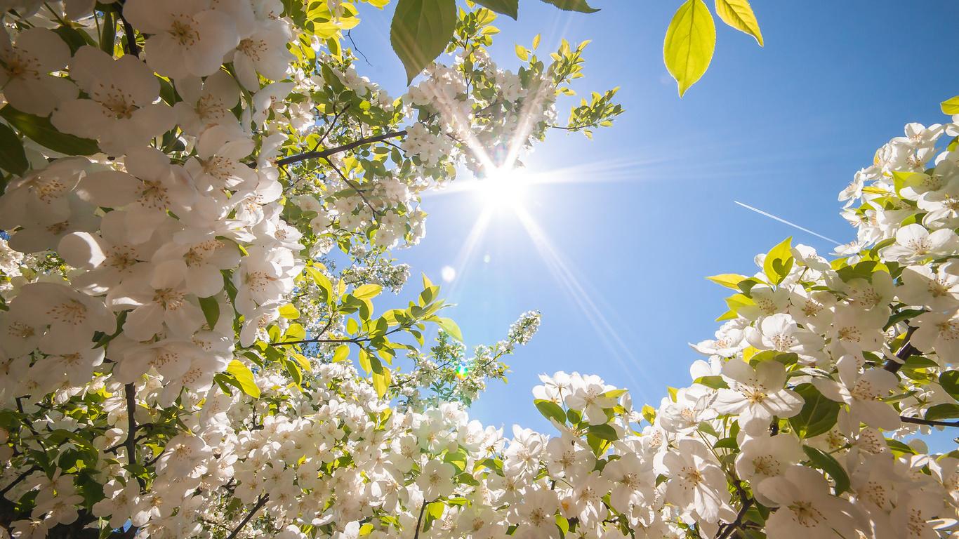 природа, весна, цветы, вишня, черешня, солнце, небо, дерево