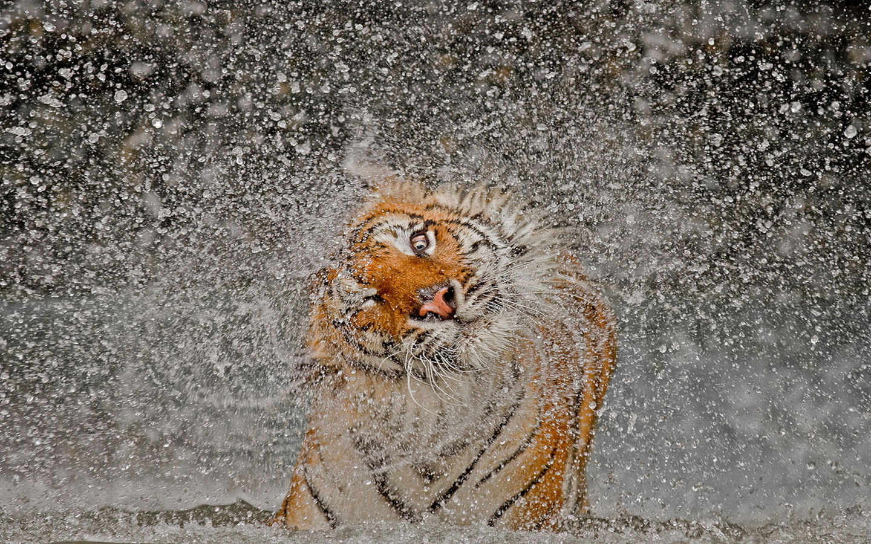 тигр, вода, брызги, прикольно, красота, кошка, позитив, tiger