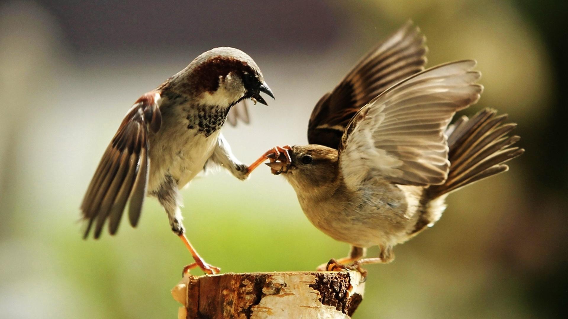 воробей, птица, this is sparta