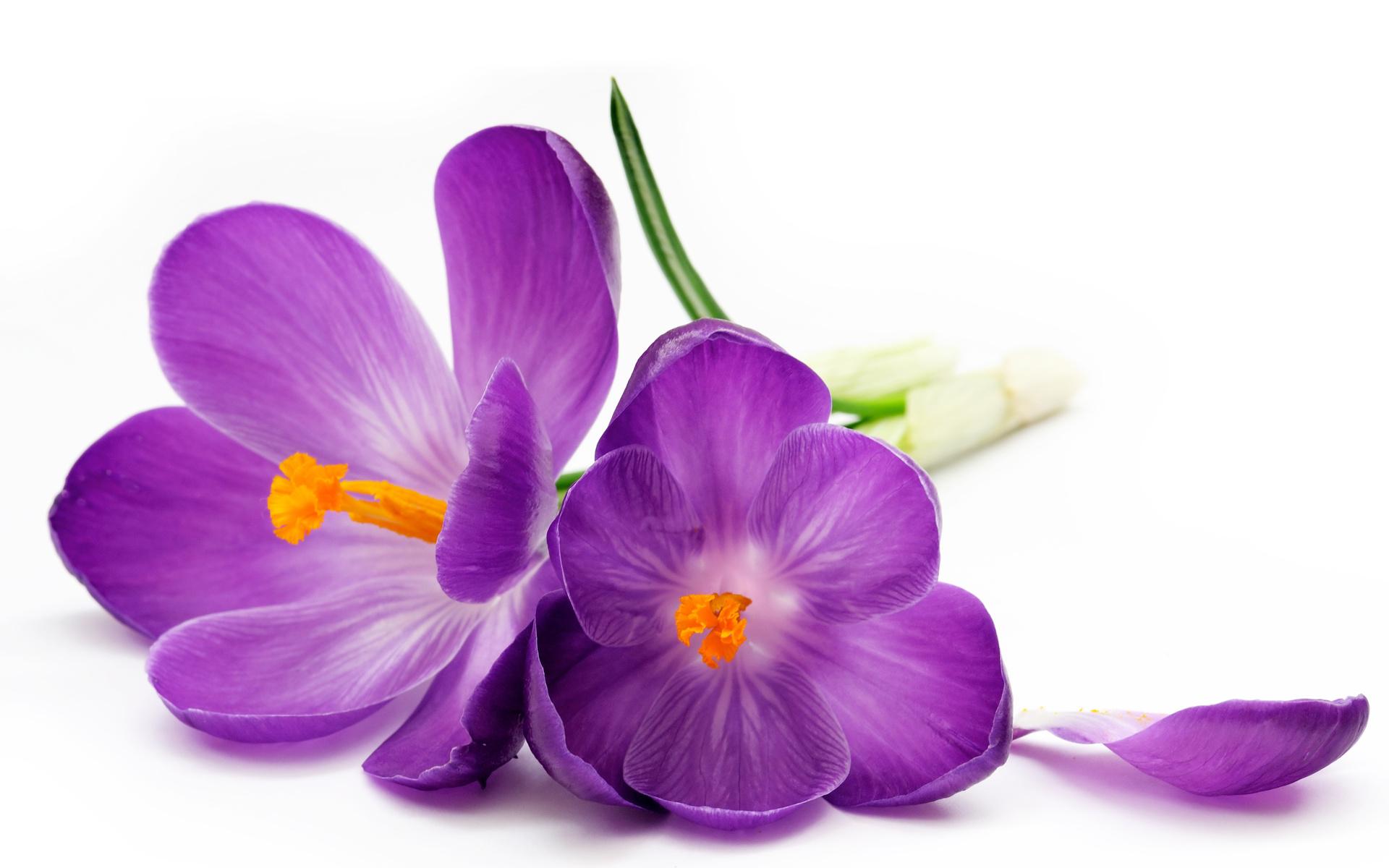 крокусы, фиолет, белый, фон