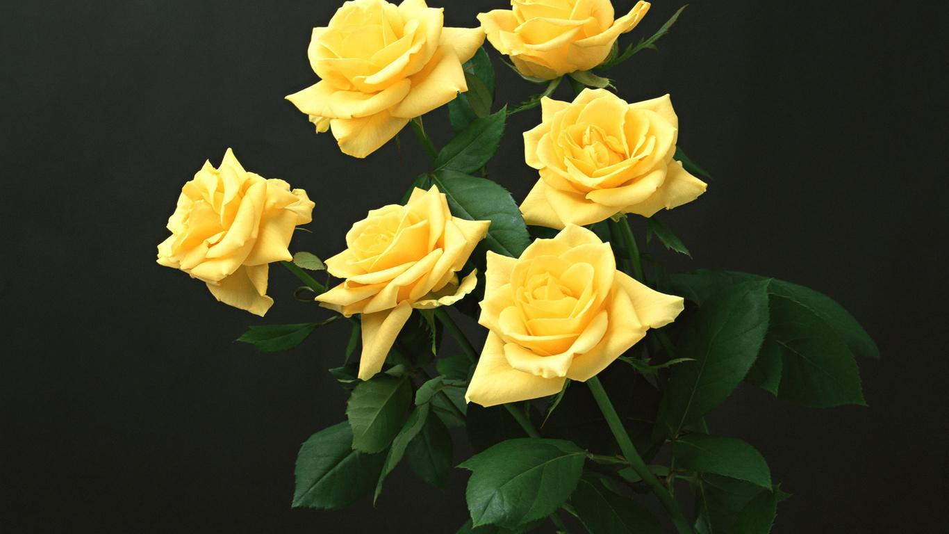 желтые, розы