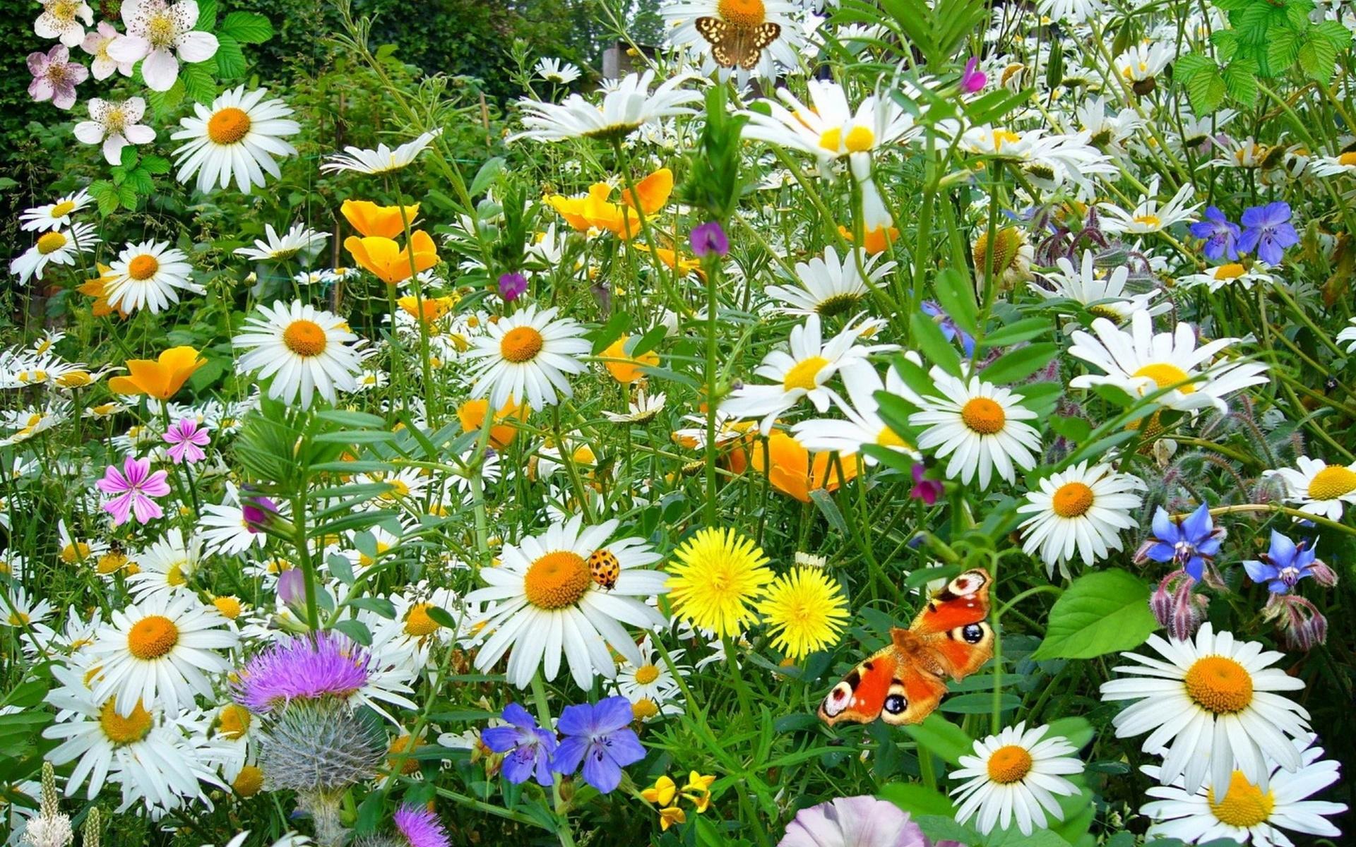 Картинка поле с ромашками и бабочками, днем рождения