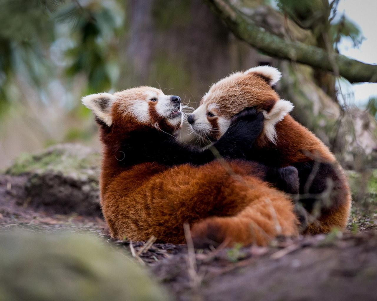 красная панда, морда, глаза, нос, уши, ветка, красота, позитив, прикольно