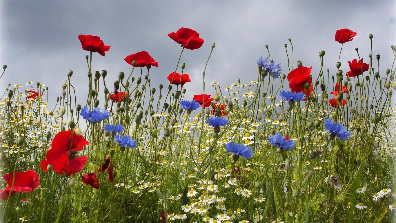цветы, поле, лето, маки, ромашки, васильки, небо, пасмурно