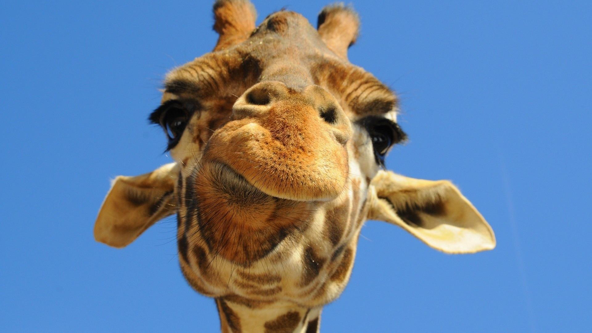 Картинка смешные жирафа, найти поздравительные