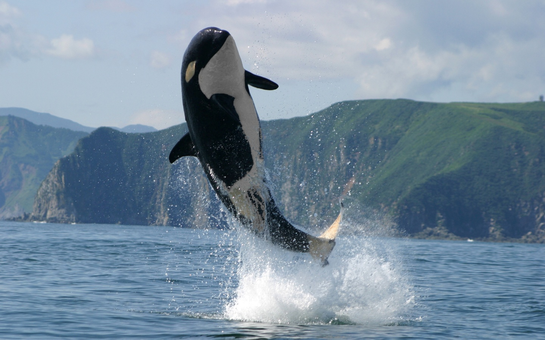 Голубя открытках, картинки китов убийц