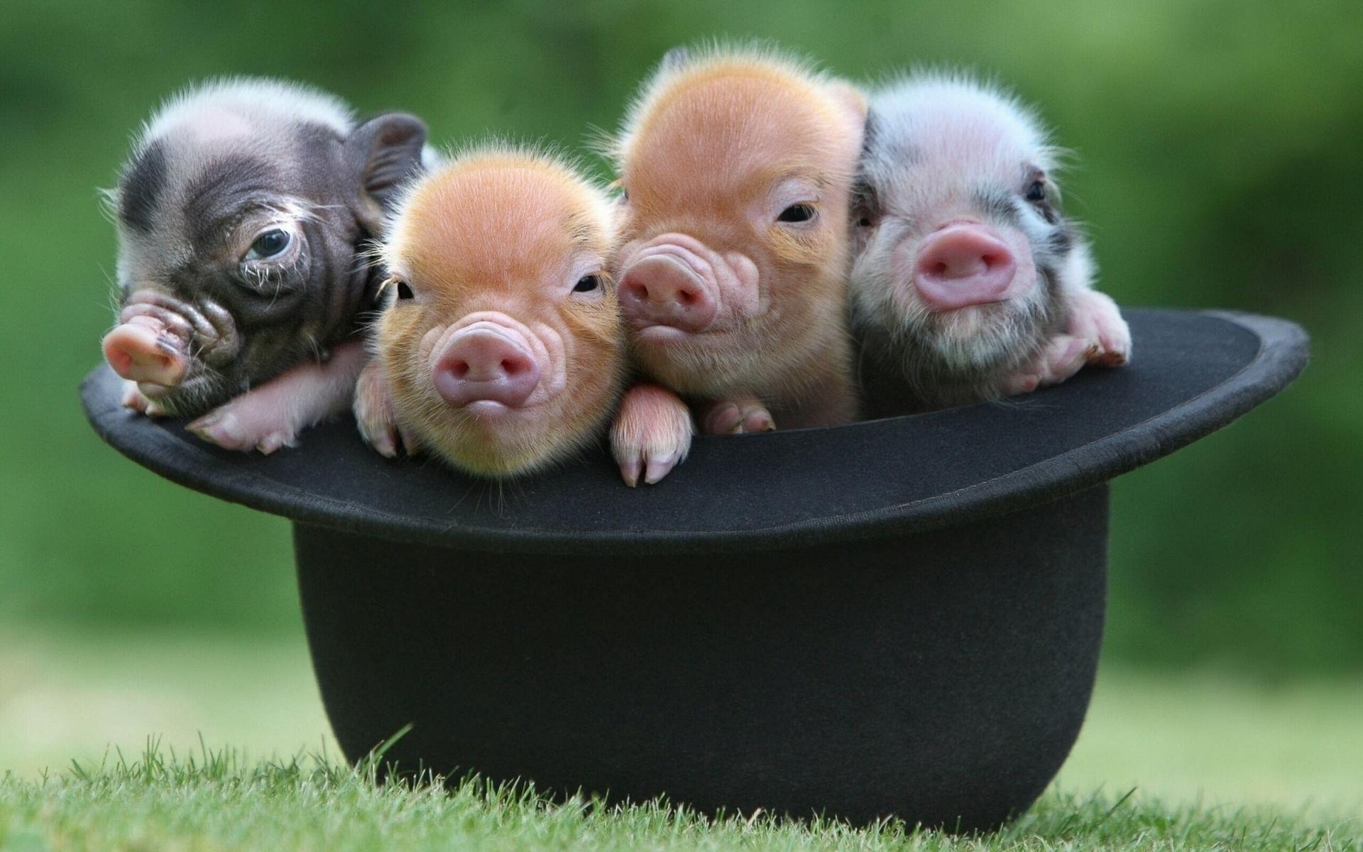 Обои на рабочий стол смешные фото свинюшек с собаками