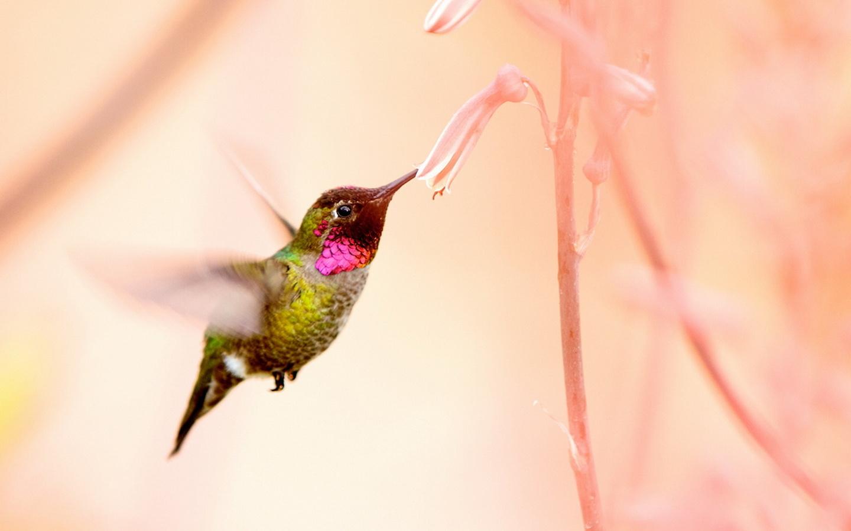 калибри, птица, красота, цветок, птицы мира,, колибри