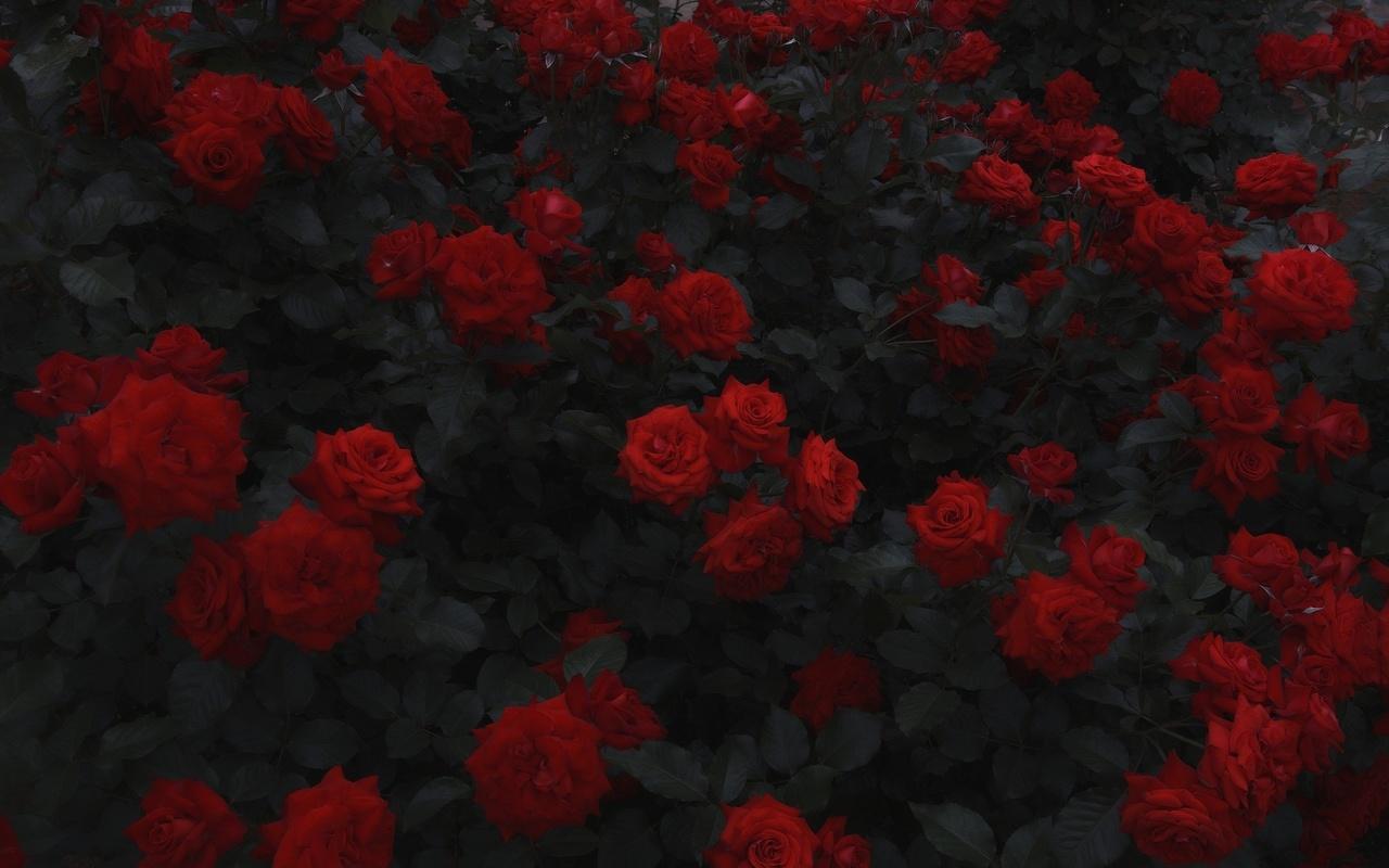 фото, розы, город, клумба