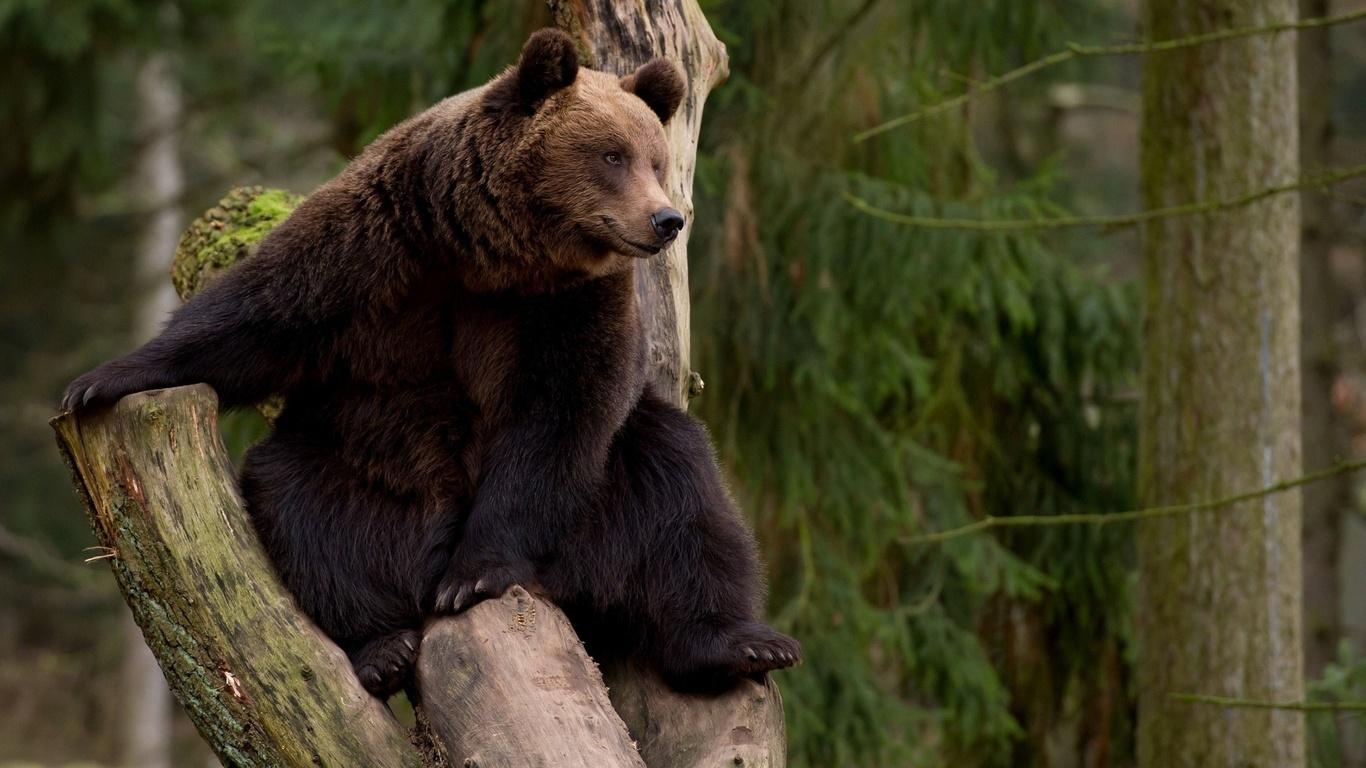 медведь, бурый, косолапый, лес, дерево, ствол, сидит
