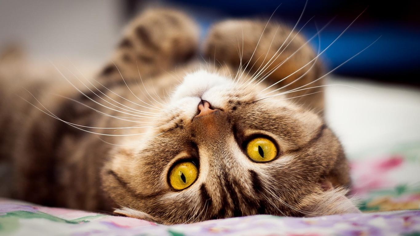 кот, кошка, котенок, кошачьи глаза, домашний питомец, котейка
