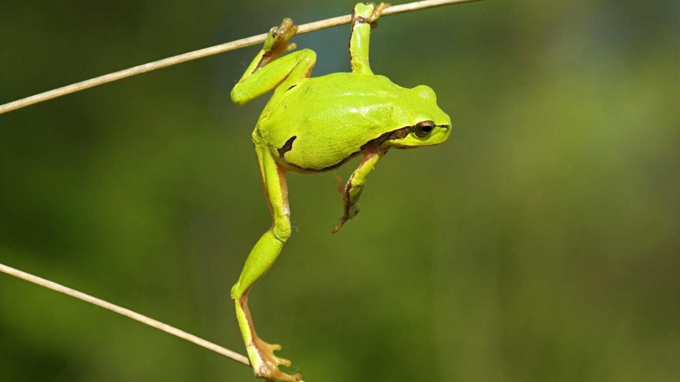 frog, green, branch, tree, wild