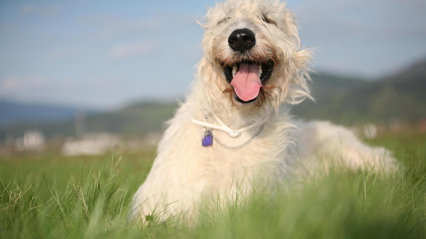 собака, волкодав, прикольно, весело, красота