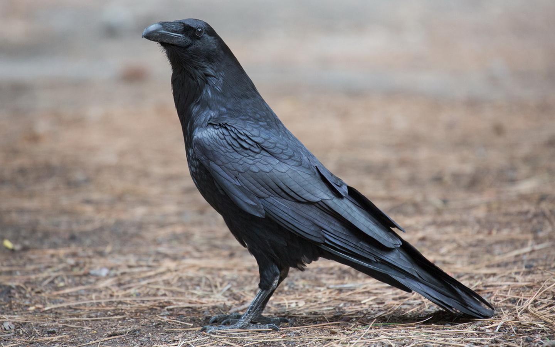 ворон, птица, красота, птицы мира,