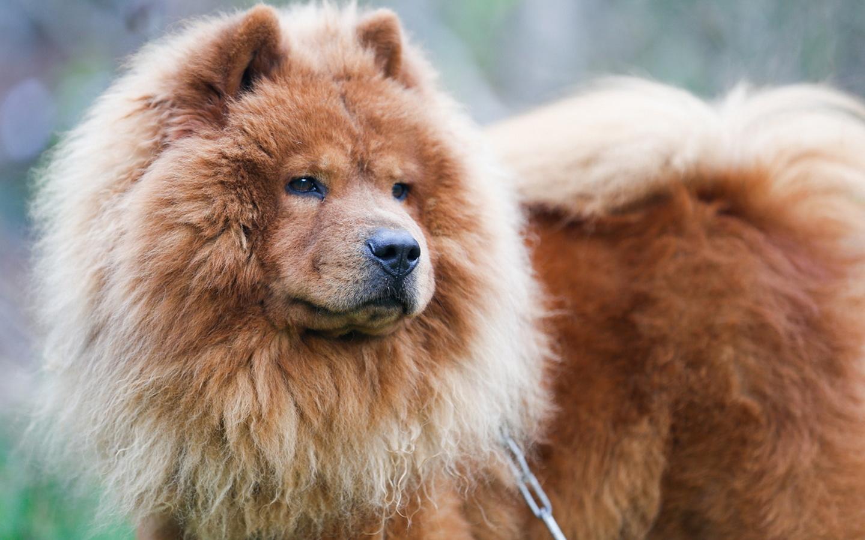 собака, Чау-чау, красота
