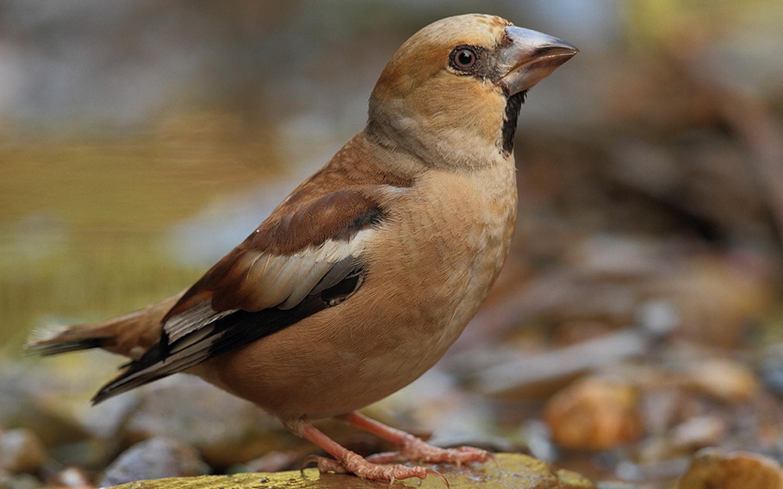 дубонос, птица, красота, птицы мира,