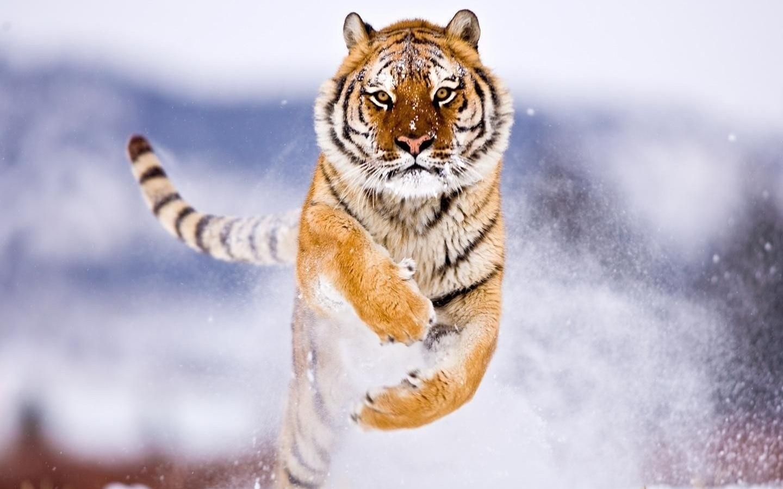 tiger, amur, snow, jump, wild