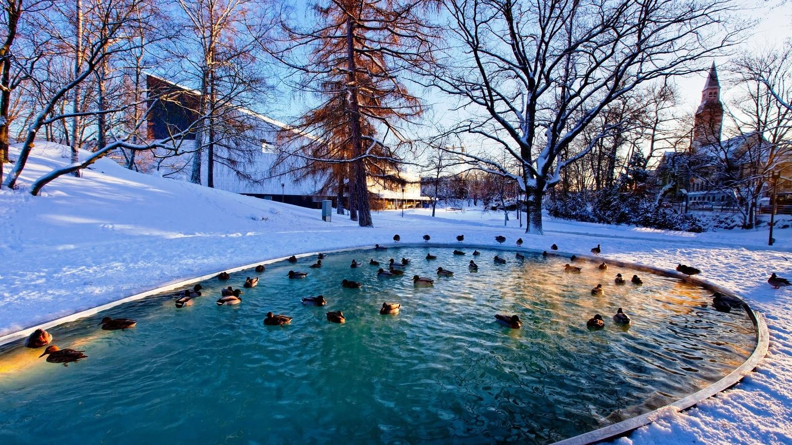 зима, пруд, утки