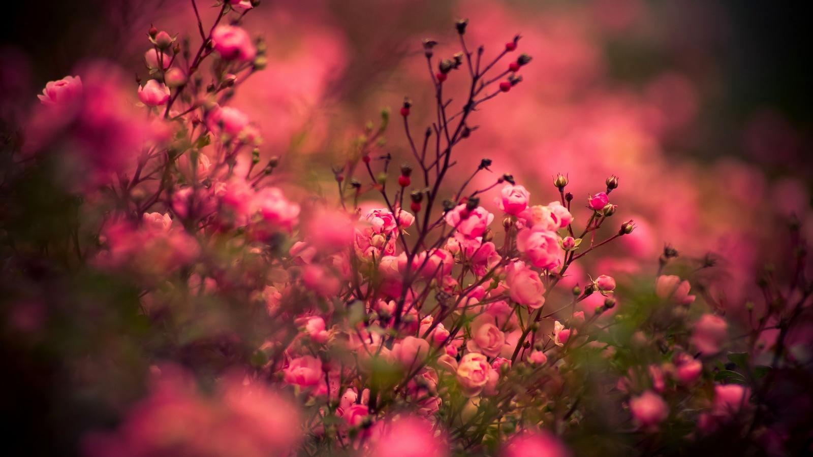 цветы, розы, flower, flowers, rose, roses, nature
