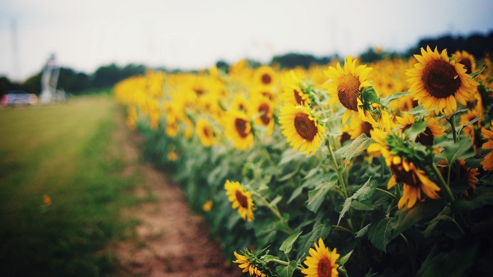 поле, природа, лето, подсолнухи, макро, фото, тема, украина, красиво