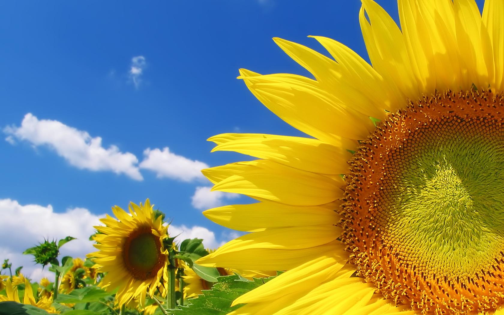 подсолнухи, поле, небо, облака, лето, цвет, желтый, ярко