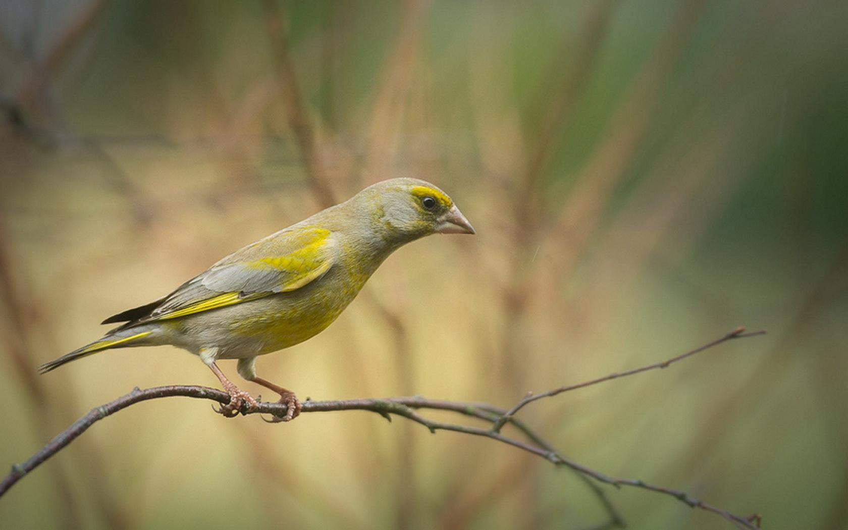зеленушка, птица, красота, птицы мира,, птицы мира,