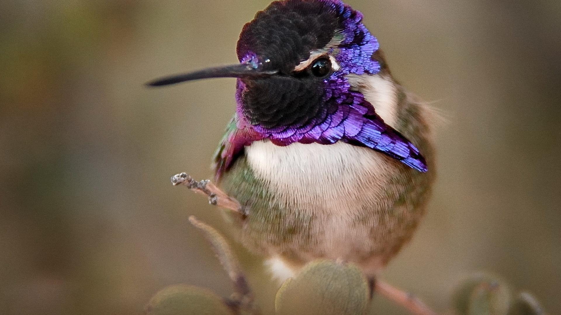 колибри, птица, красота, птицы мира,, природа