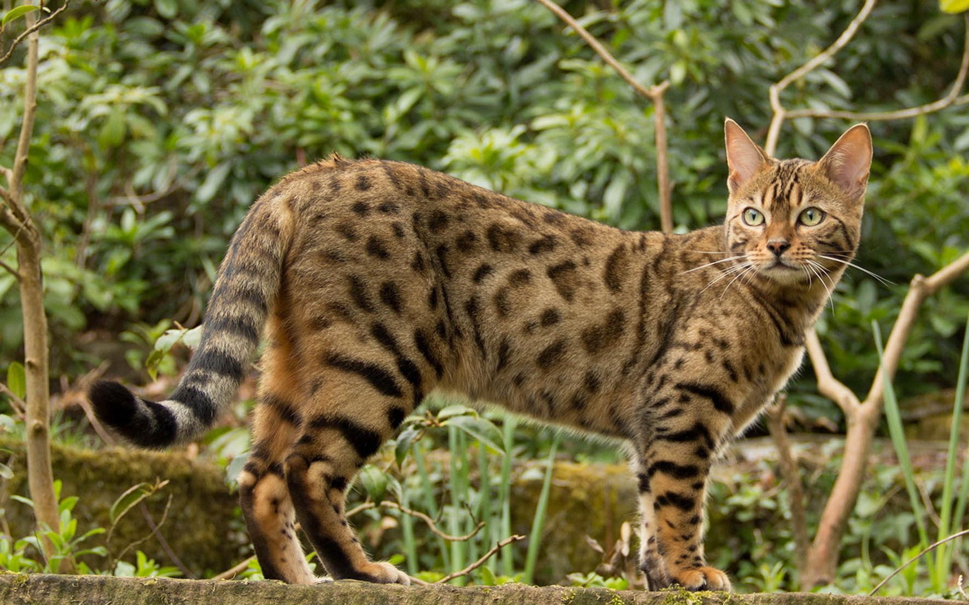 кошка, бенгальская, красота