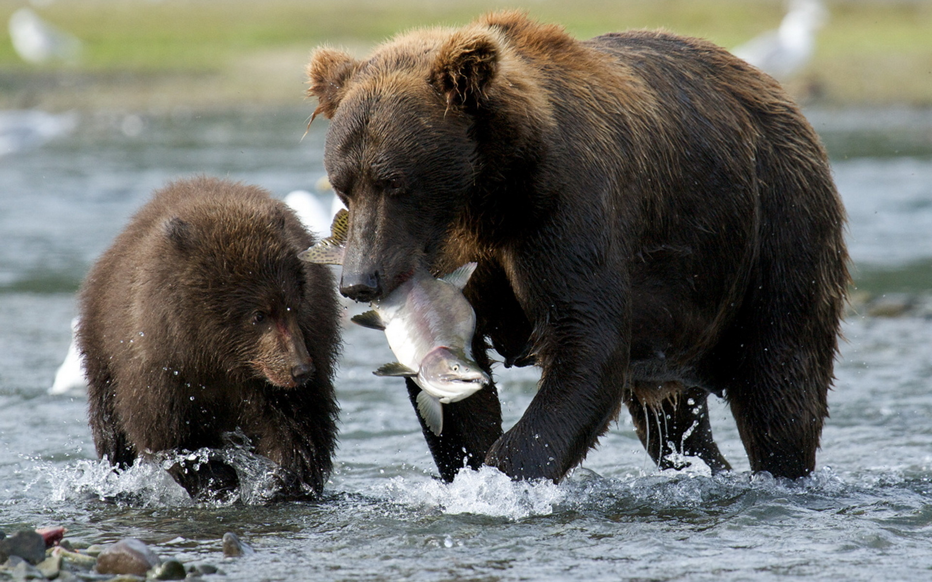 медведица, медвежата, рыбалка, красота