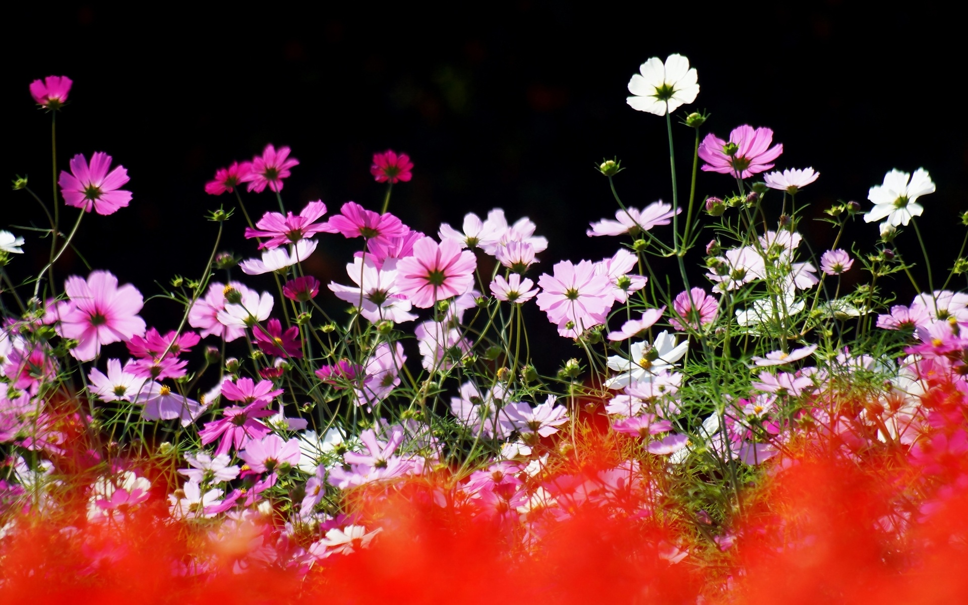 цветы, космея, фокус, лето, природа