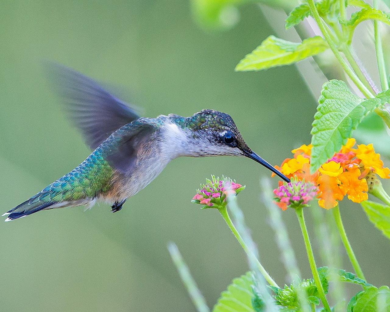 птица, красота, птицы мира, колибри, полет, природа
