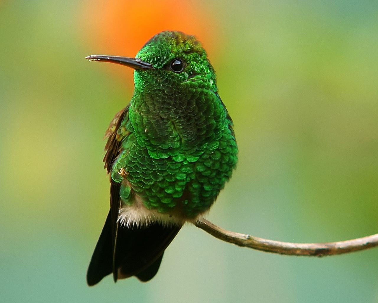 птица, красота, птицы мира, колибри, природа