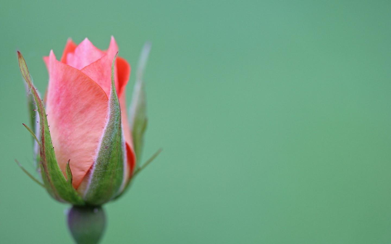 Бутоны полураскрытые цветов фото