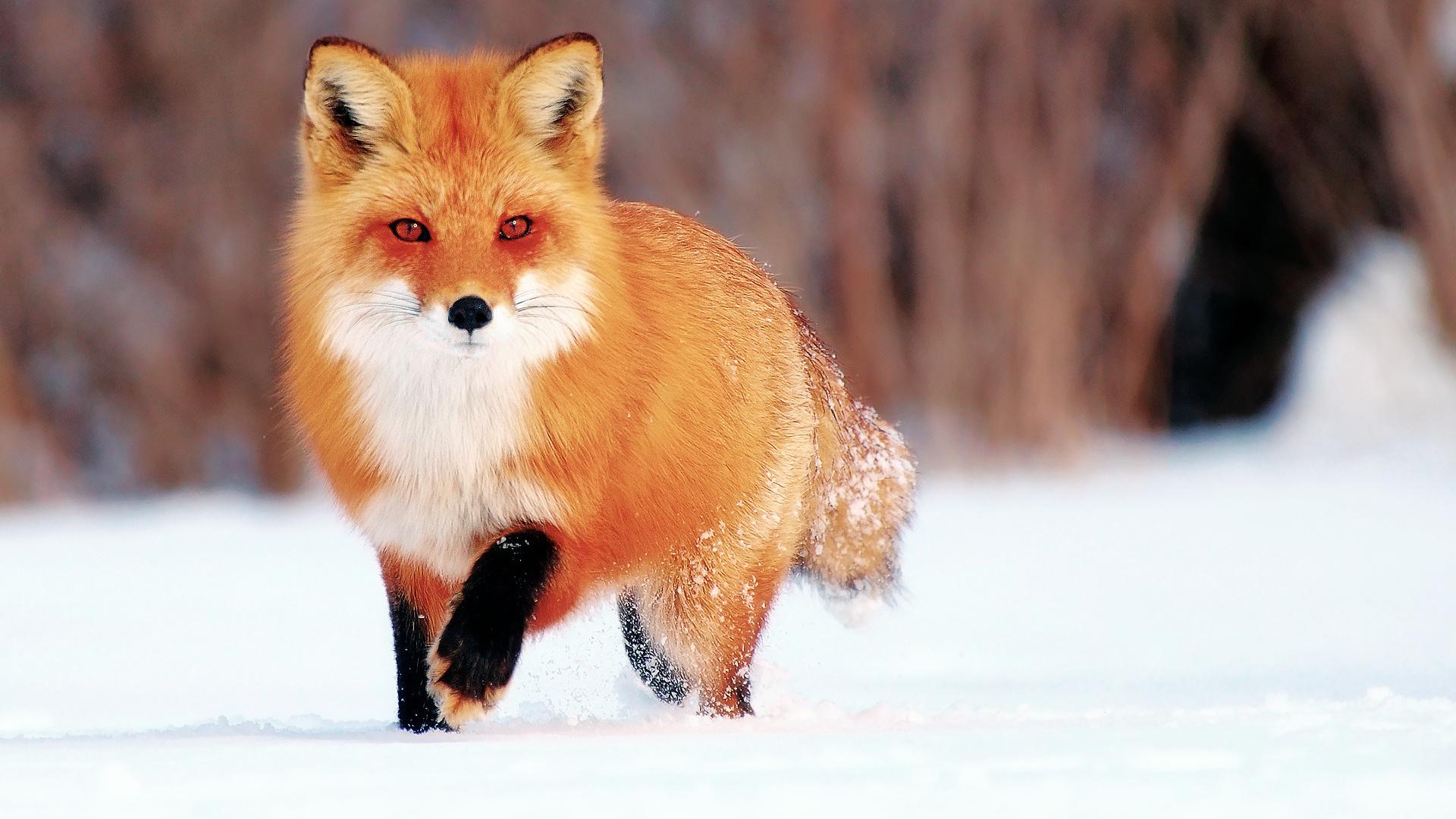 Картинки с лисичками, маши