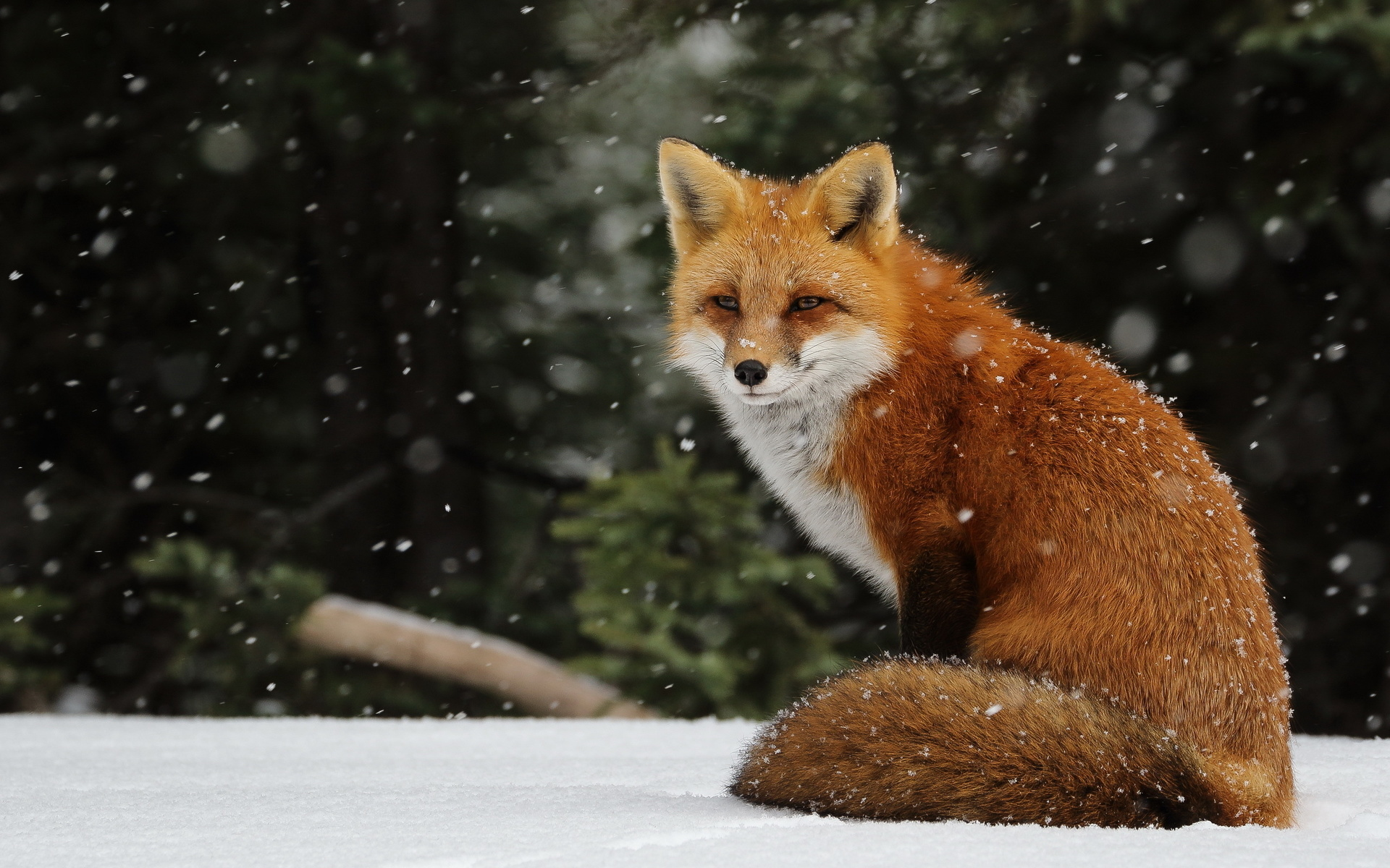 Красивые картинки лисы, фантиков конфет привет