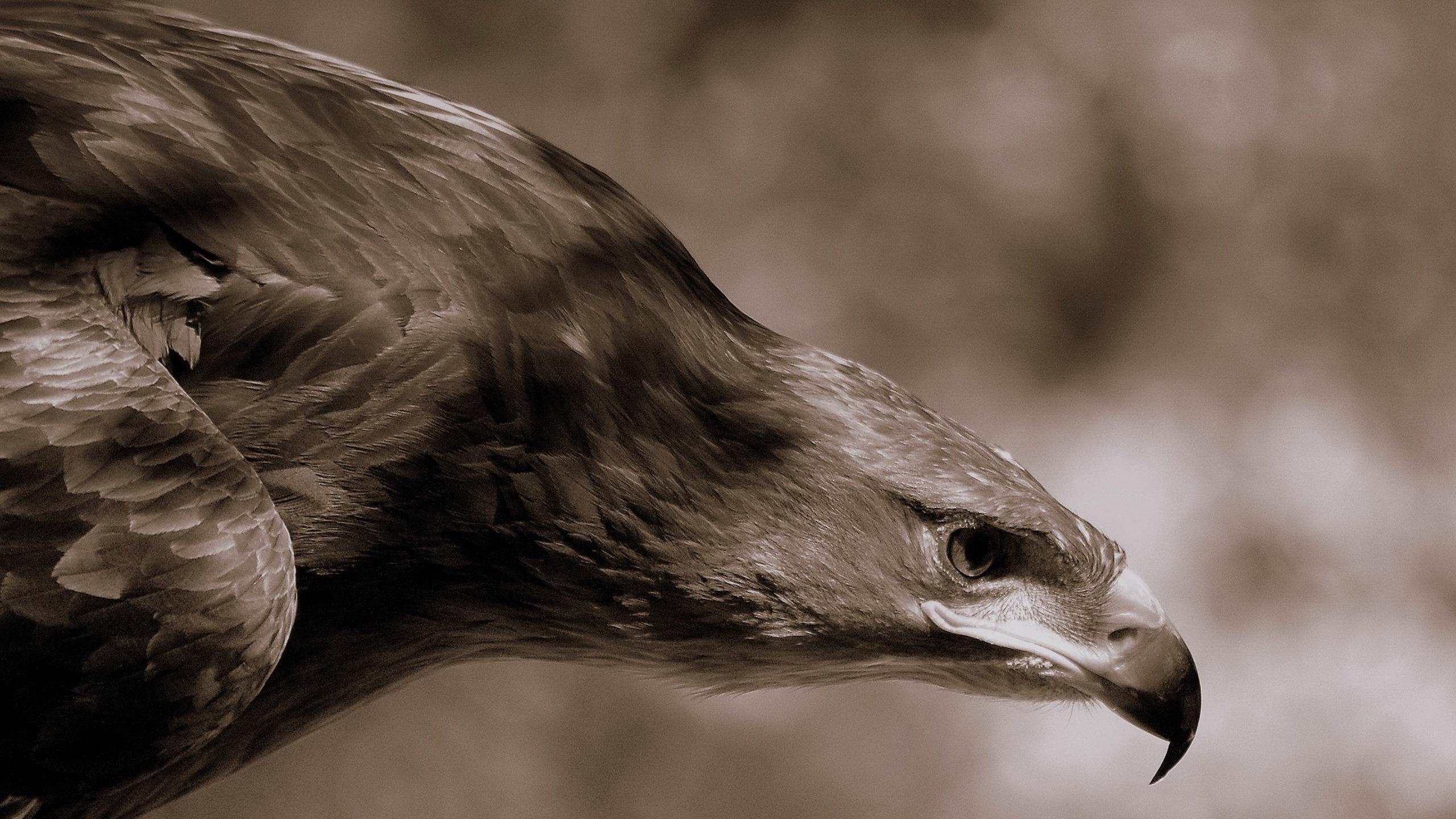 орел, клюв, перья