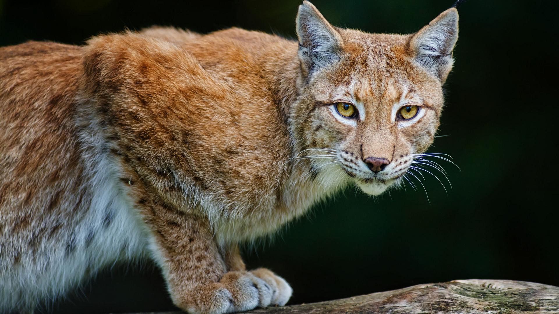 bobcat, lynx, рысь, хищник
