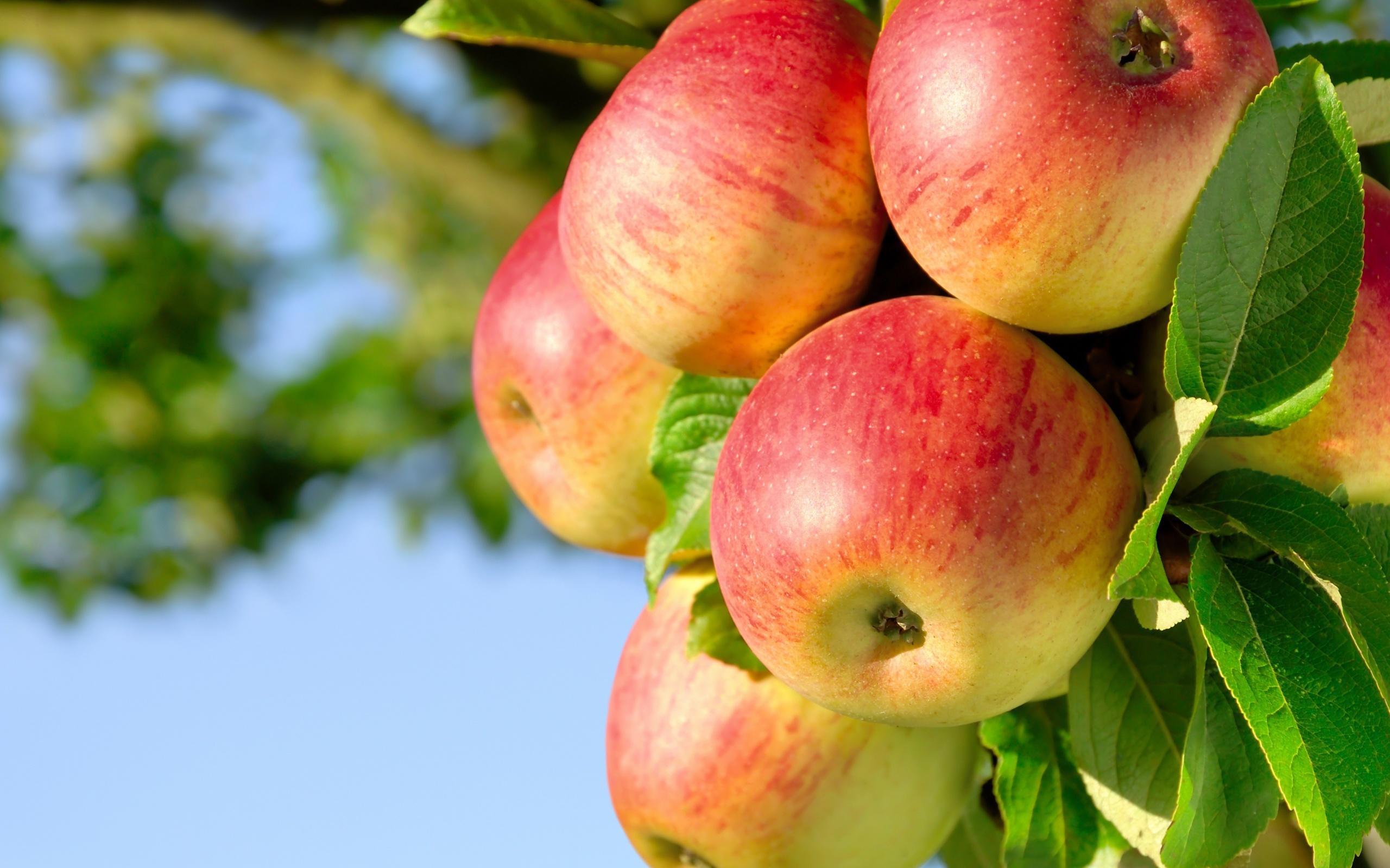 Яблоки красивые картинки, большие открытки для