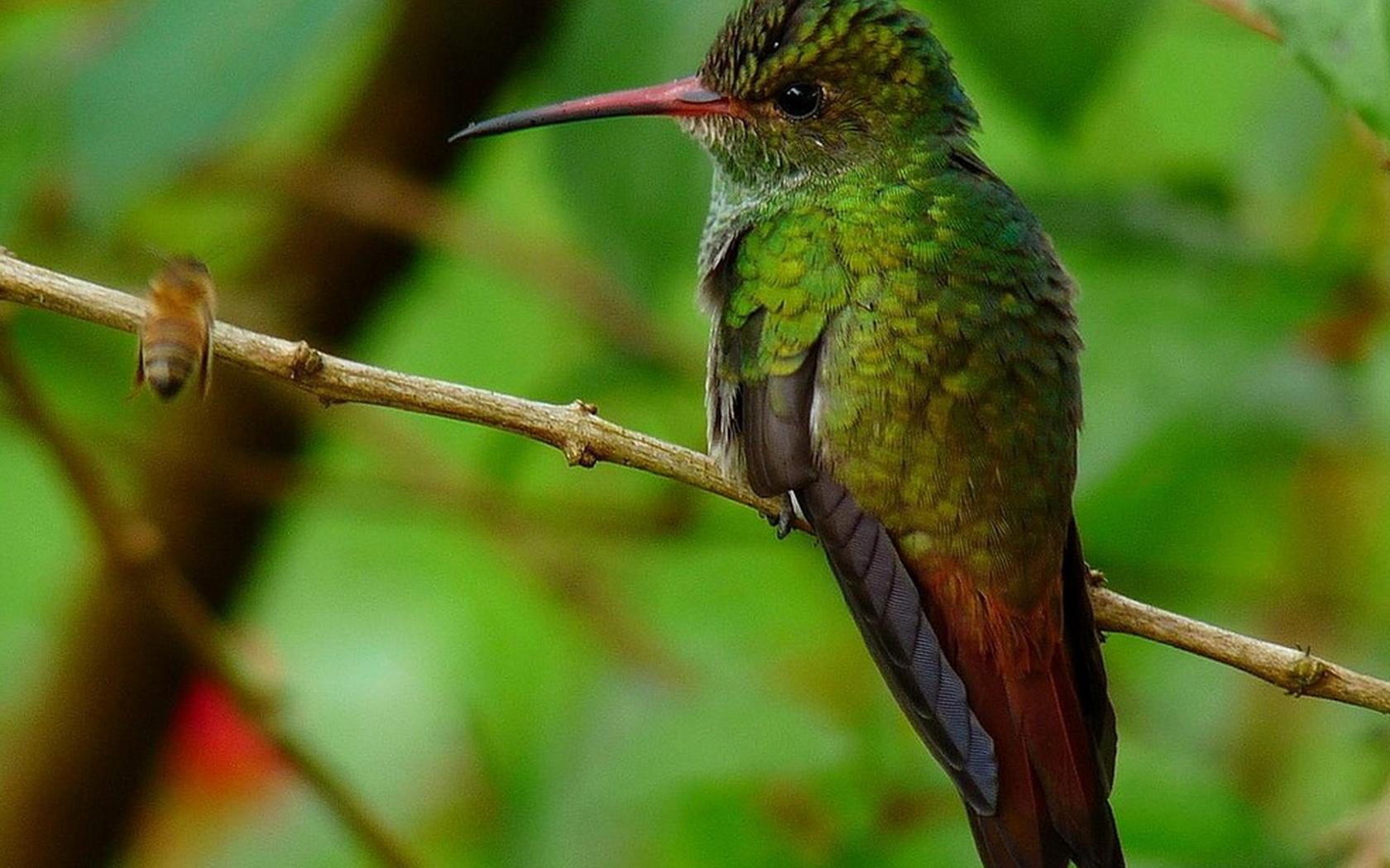 птица, красота, птицы мира, колибри