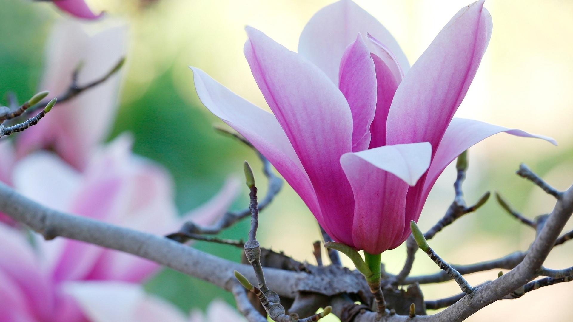 природа, макро фото, дерево, ветки, магнолия, цветок, весна, красиво