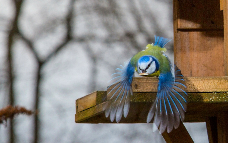 птица, красота, птицы мира, лазоревка, кормушка