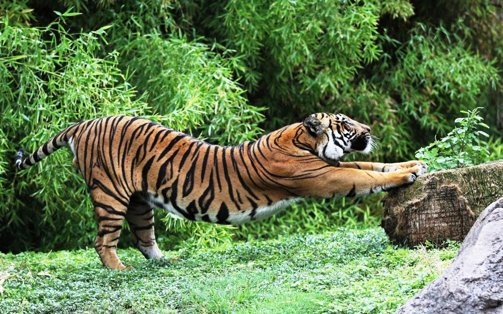 тигр, разминка, заповедник