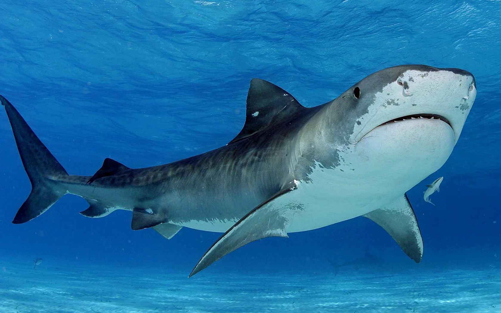 Картинка с акулой